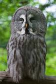 Great grey owl (Strix nebulosa).