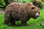 Mainland grizzly (Ursus arctos horribilis).