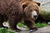 Fotografie Mainland grizzly (Ursus arctos horribilis).