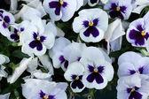 Fotografia Garden pansy (Viola tricolor var. hortensis).