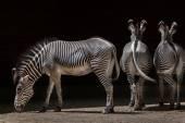 Fotografie Grevys zebra (Equus grevyi)