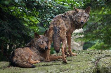 Iberian wolfs (Canis lupus signatus).