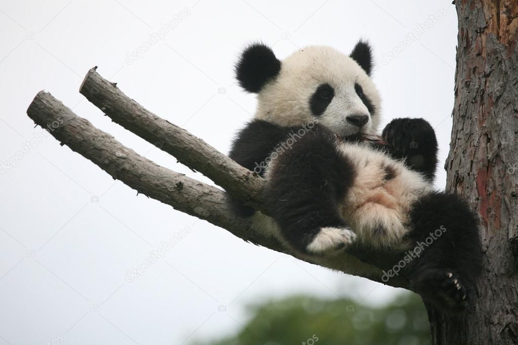 Le foto dei cuccioli di uno degli animali rari pi dolce: il panda - Ecoo 5