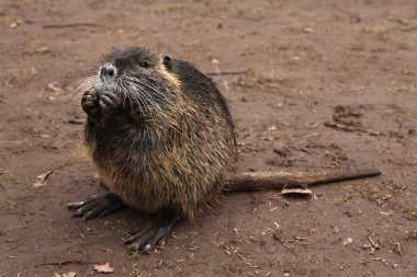 Coypu also known as the nutria.