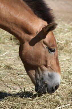 Przewalski's horse (Equus ferus przewalskii).
