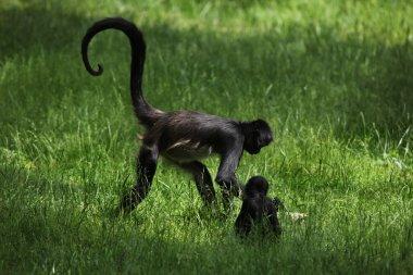 Geoffroy's spider monkeys (Ateles geoffroyi).