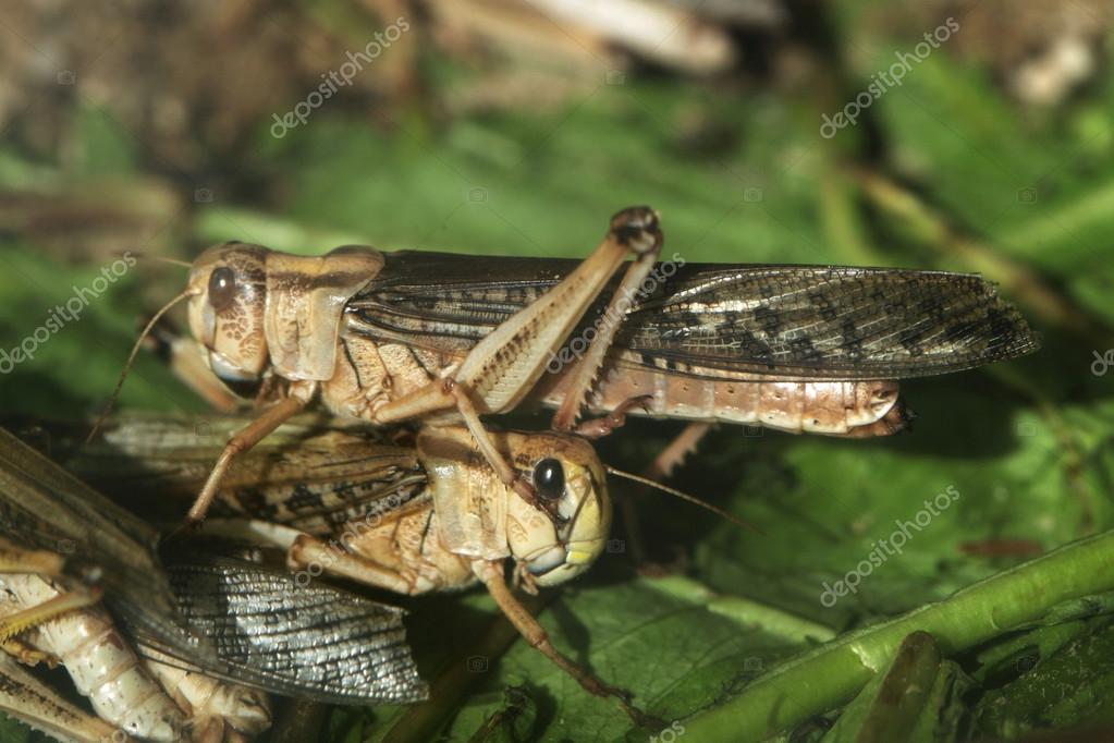 Desert locust (Schistocerca gregaria).