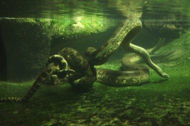 Green anaconda (Eunectes murinus)