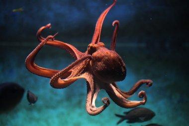 Common octopus (Octopus vulgaris).