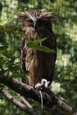 Buffy fish owl (Bubo ketupu)
