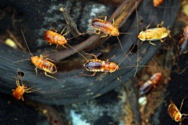 Turkestan cockroaches (Blatta lateralis)