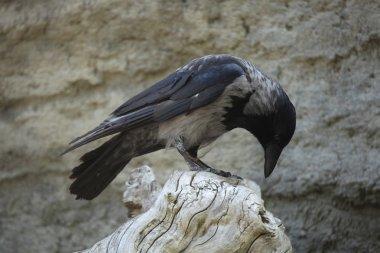 Hooded crow (Corvus cornix)