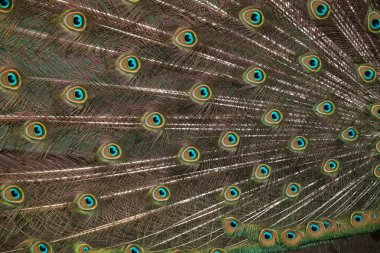 Plumage of Indian peafowl