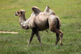walking Bactrian camel