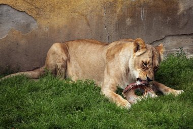 Katanga lion (Panthera leo bleyenberghi)