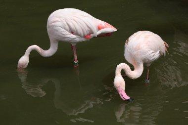 pink Greater Flamingos