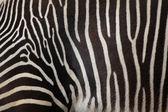Divoké Grévyho zebry