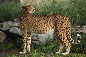 wild Cheetah (Acinonyx jubatus).