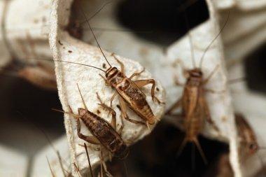 House cricket, close up