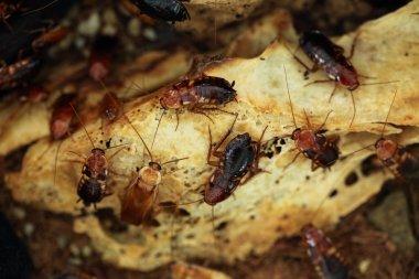 Turkestan red cockroach