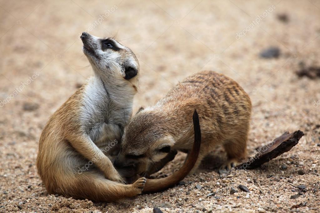 Wild Meerkats close up