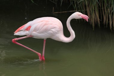Wild Greater Flamingo