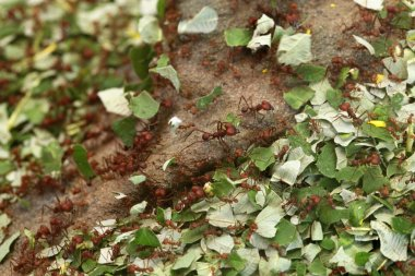 Wild Leafcutter ants