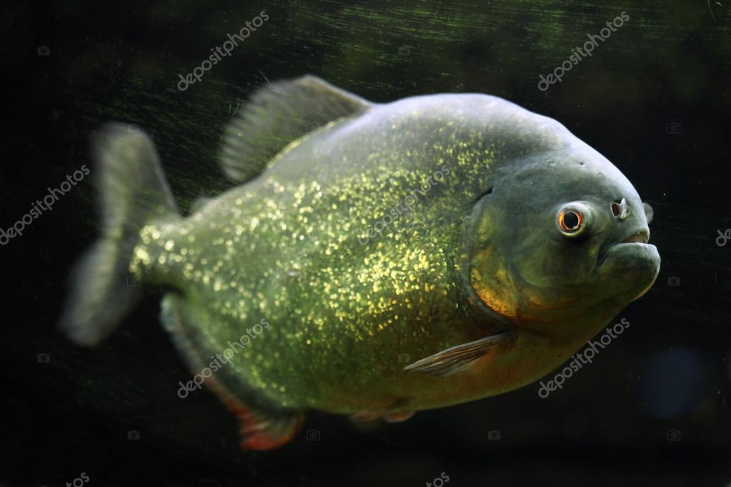 Wild Red-bellied piranha