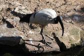 Divoké ibis posvátný