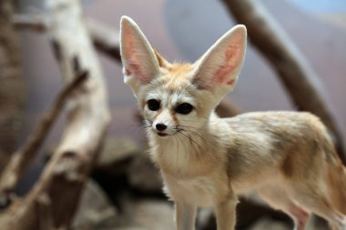 Wild Fennec fox