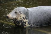 Grey seal (Halichoerus grypus).