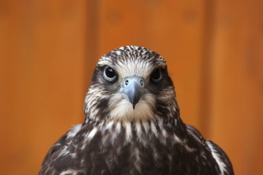 Saker falcon (Falco cherrug).
