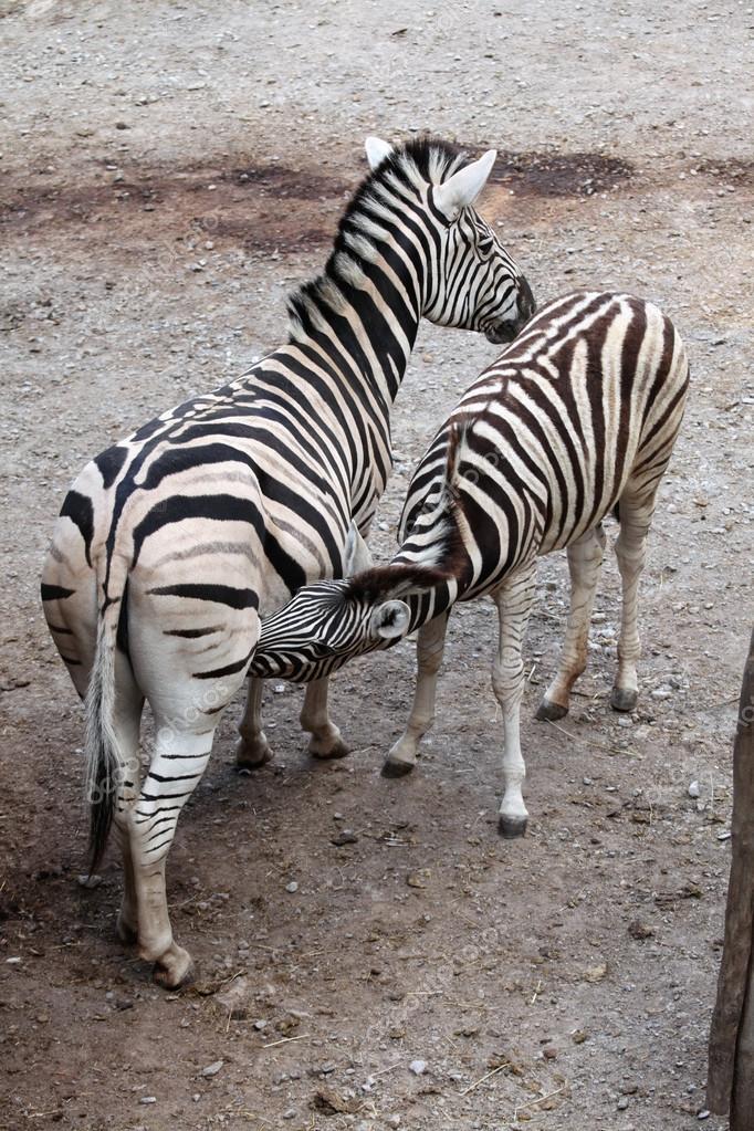 Burchell's zebra feeding its foal.