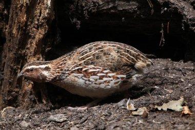 Japanese quail (Coturnix japonica).
