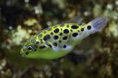 Fényképek Green spotted puffer (Tetraodon nigroviridis)