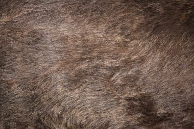 Brown bear (Ursus arctos) fur texture