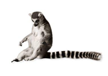 Amusing lemur with long tail