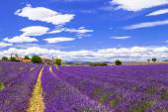 kvete fialovými feelds travarica v Provance, Francie