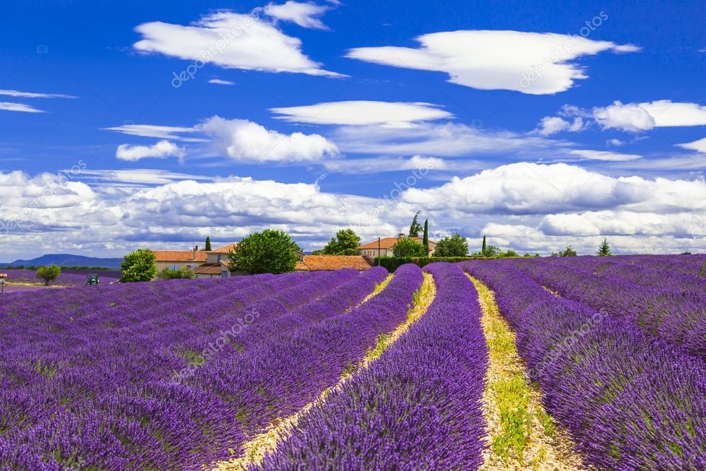 blooming violet feelds of lavander in Provance, France