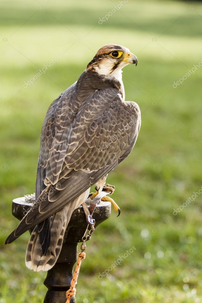 pássaro de falcão sobre fundo verde stock photo jarin13 90052262