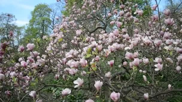 květ magnolie strom v jarní zahradě
