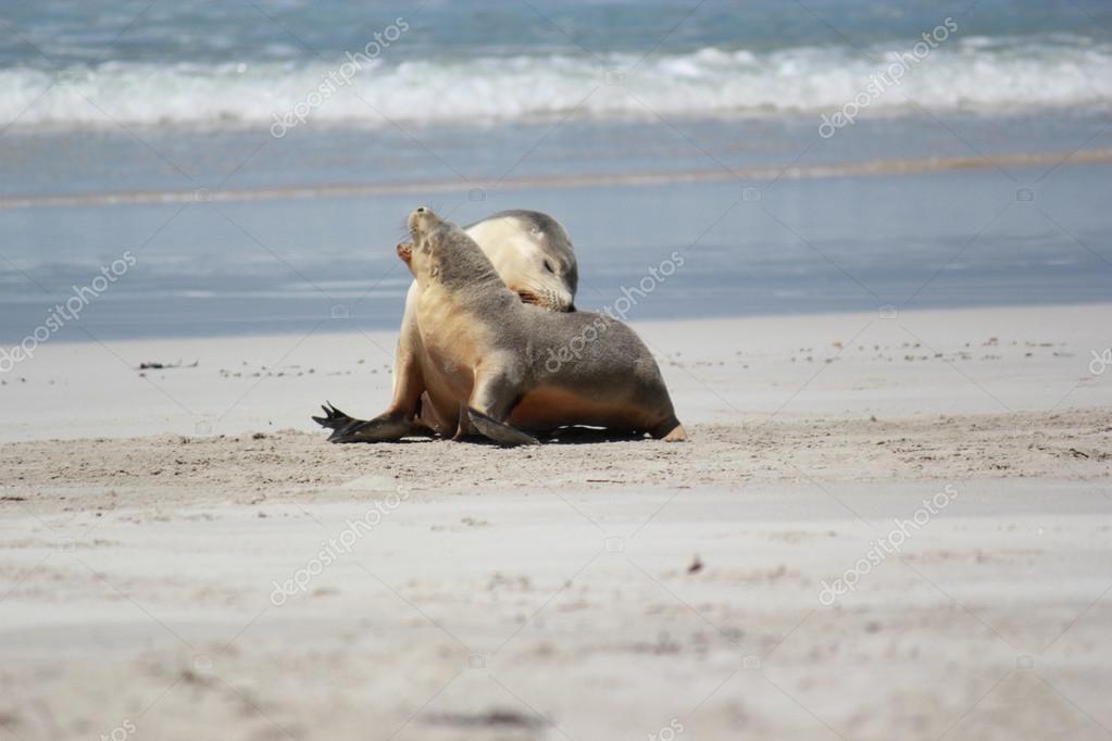 Endangered Australian Sea Lion Neophoca Cinerea In Shallow Water Carnac Island Western