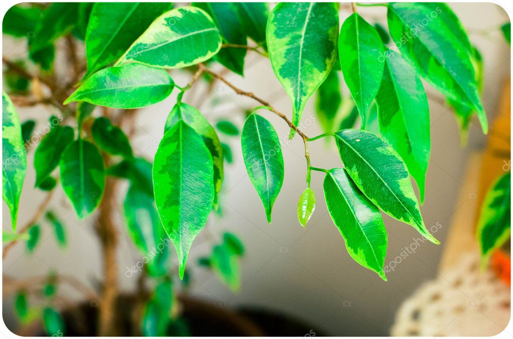 Abstract background with green leaves of Ficus on the tree