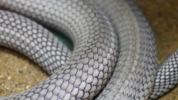 Közelkép a Királykobra kígyó test bejárás közben