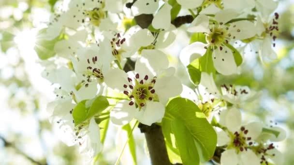 Cherry blossoms on sun 2