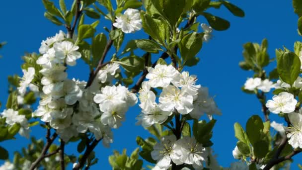 Cherry blossoms branch on blue