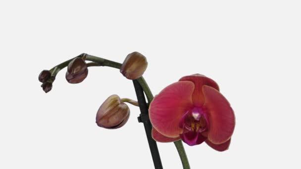 Time-lapse otevření oranžové a růžové Phalaenopsis orchidej 1d2w izolované na bílém pozadí