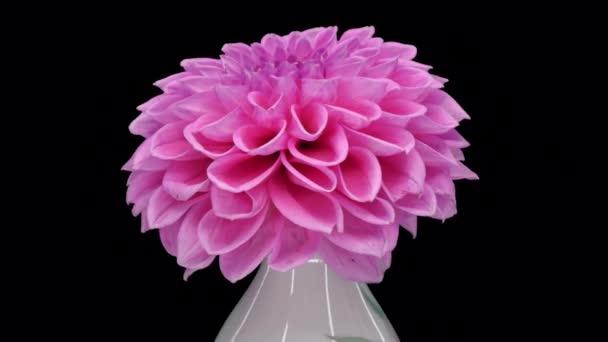 Rotující růžová dahlia květ s ALPHA kanál izolovaný na černém pozadí, bezešvé smyčky