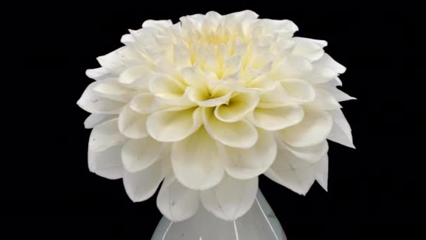 Rotating white dahlia flower with ALPHA channel isolated on black background, seamless loop