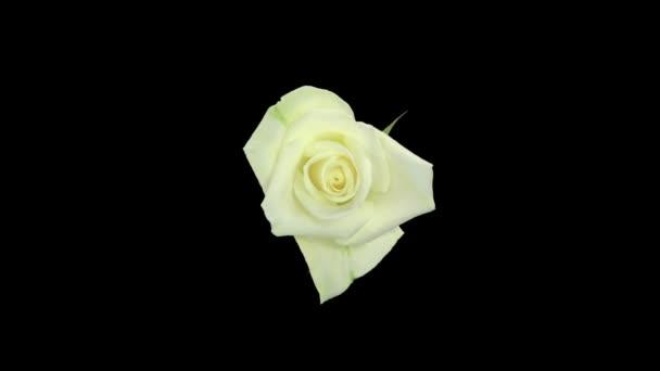 Zökkenőmentes forgó idő-lapse nyitó és záró fehér Bianca rózsa elszigetelt fekete háttér, felső nézet.